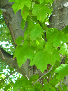 Red maple leaves and bark.
